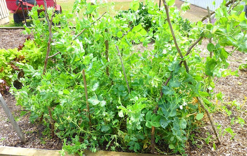 Growing snow peas in the garden in Australia