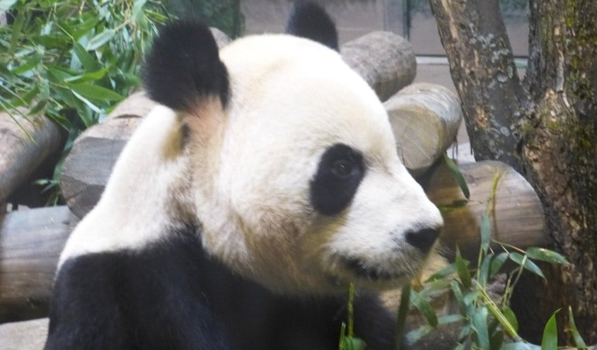 Panda Da Mao at Toronto Zoo
