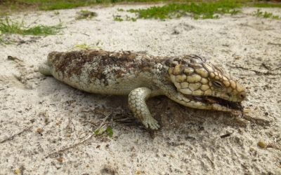 Australia Wild: The Untimely Death of a Bobtail Lizard