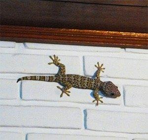 Tokay Gecko Lizard, Bali