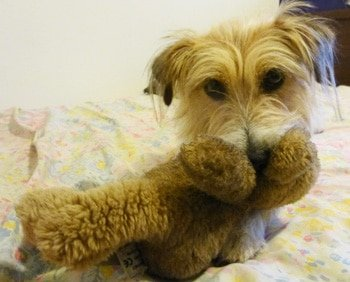 Chienne, Jack Russell Terrier with Teddy