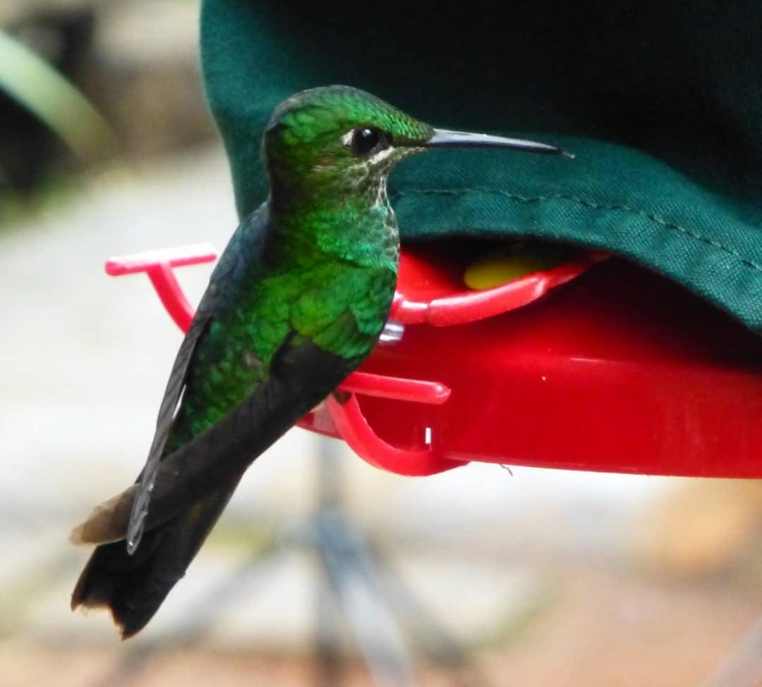 humming bird feeders at La Paz Waterfall Gardens, Costa Rica
