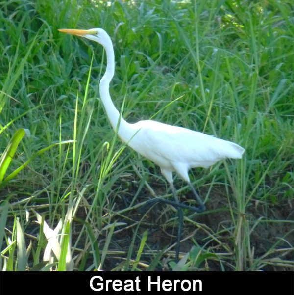 Great-Heron-on-Sierpe-River-in-Costa-Rica