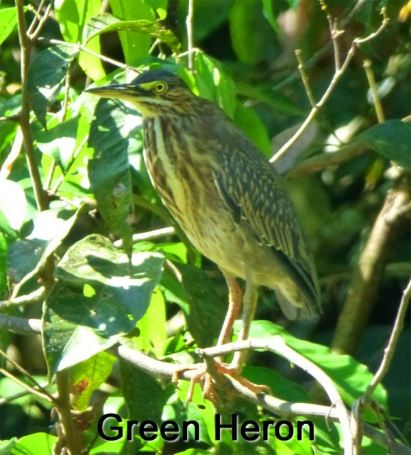 Green-Heron-on-Sierpe-River-in-Costa-Rica