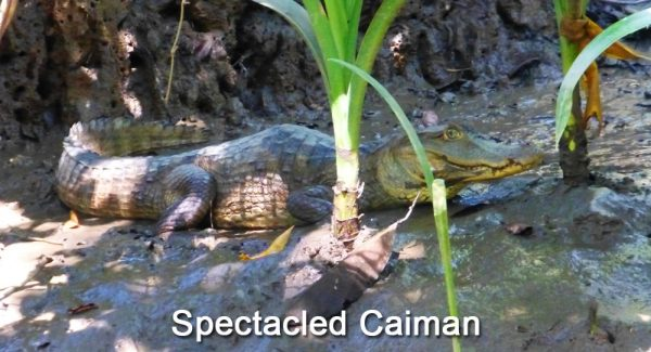 Spectacled-Caiman-on-Sierpe-River,-Costa-Rica