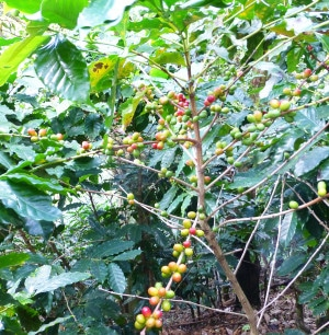 Costa Rica Toleado Coffee Farm Coffee Bean Fruit