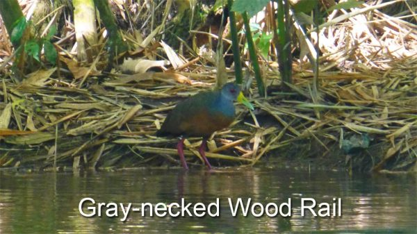 gray-necked-wood-rail-on-Sierpe-River,-Costa-Rica