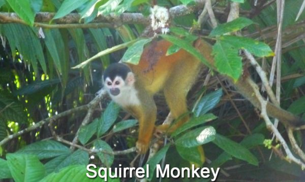 squirrel-monkey-on-Sierpe-River-in-Costa-Rica