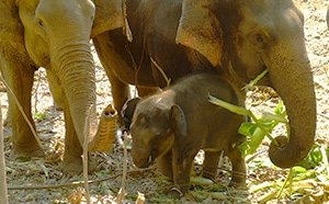 Baby elephant with mother at Elephant Nature Park, Thailand