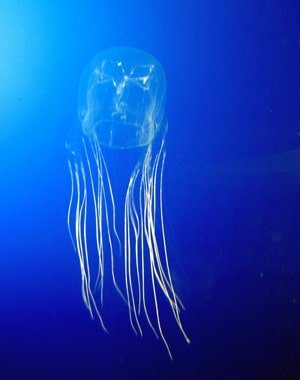 Boxy Jellyfish Can Sting in Hawaiian Islands