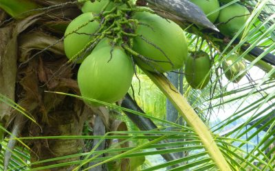 How To Get Free Coconut Water (Pipa) in Costa Rica