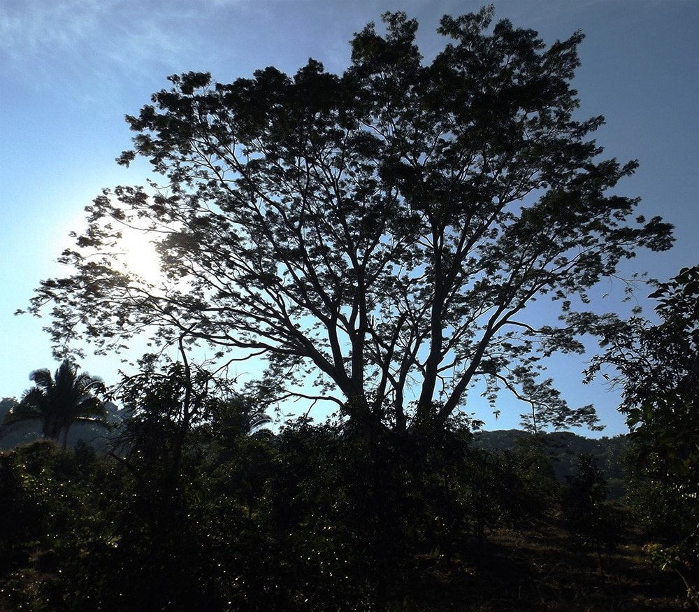 Parota Tree in Altavista, Nayarit, Mexico